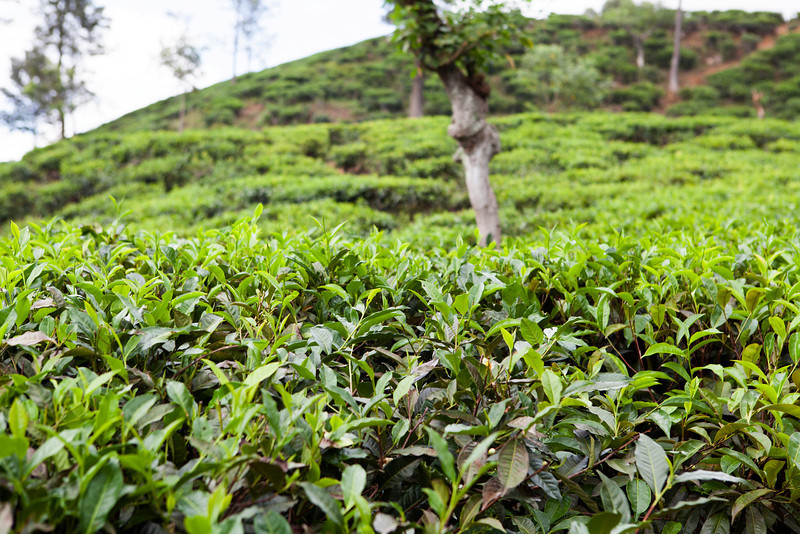 NUWARE ELIYA. TEA PLANTATION.