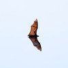 KANDY. BOTANICAL GARDEN. FLYING BAT. CENTRAL SRI LANKA.