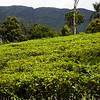 GLENLOCH TEA FACTORY. NUWARA ELIYA. HILL COUNTRY. SRI LANKA.
