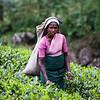 TEA PLANTATION. NUWARA ELIYA. HILL COUNTRY. SRI LANKA.
