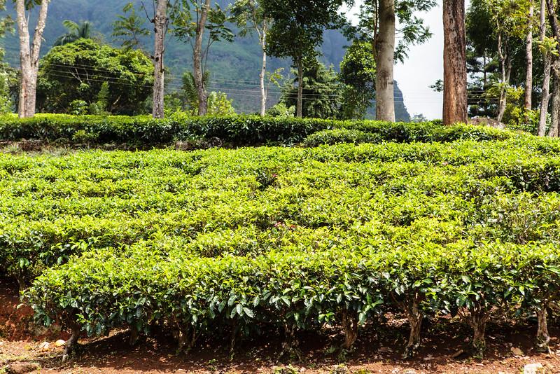 HILL COUNTRY. NUWARA ELIYA. TEA PLANTATION. SRI LANKA.