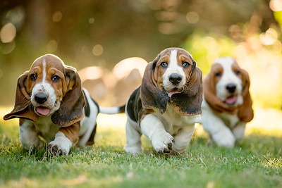 Three Basset Hounds Running