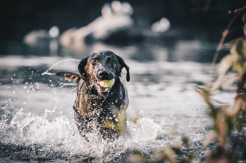 Black Labrador Retrieving Ball From Lake