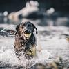 Black Labrador Retrieving Ball From Lake