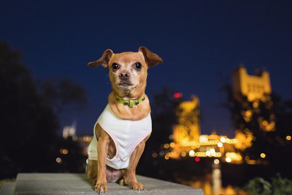 Chihuahua with Sacramento Bridge