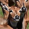 Alert Antelope