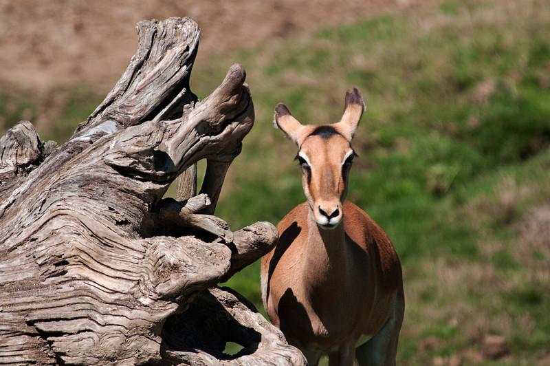 Shy Antelope