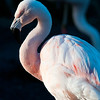 Pale Pink Flamingo