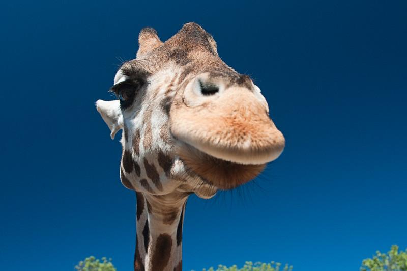 Giraffe Close Up