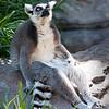 Alert Lemur