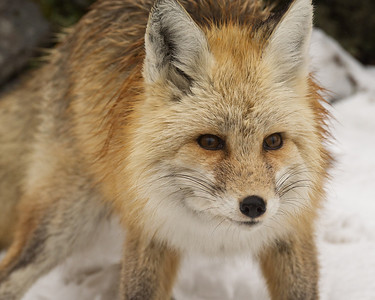 Fox_Red_20110129_0003-Edit