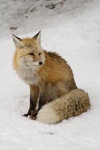 Fox_Red_20110129_0002