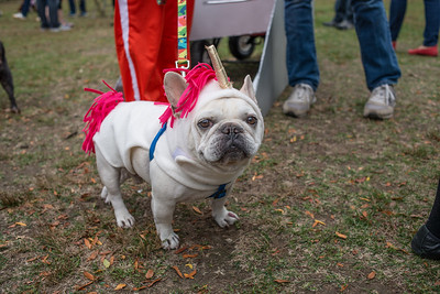 Frenchie in Unicorn costume