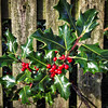 Holly Through Fence
