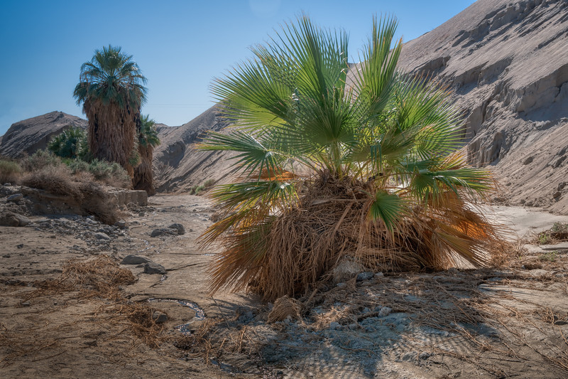 Trickle of ground water meanders along beside fan palms