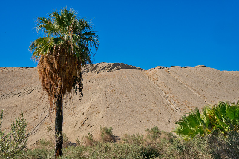 A lone fan palm (with fruit) growing on the San Andreas Fault
