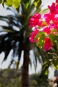 Palm & Bougainvillea