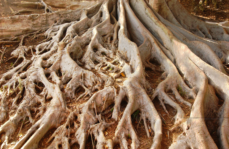 Giant roots of Moreton Bay fig tree in ravine - Balboa Park, CA