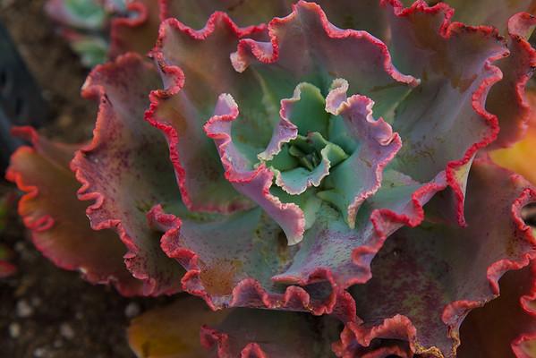 Red Succulent at Balboa Park