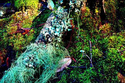Moss and lichen, Muir Woods, California