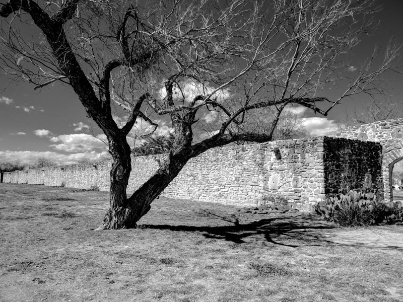 Tree with Character #3, Mission San Jose - San Antonio, Texas