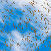 Sky_Full_of_Cranes-CranesNE_2014Mar20_5030