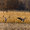 Mated_Pair_Dancing-CranesNE_Mar182014_0926