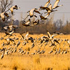Mass Takeoff From Feeding Field-CranesNE_Mar182014_1271