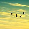 Flying_Home-CraneNE_2014Mar21_8202