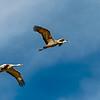 Flying Pair-CranesNE_2014Mar20_5998
