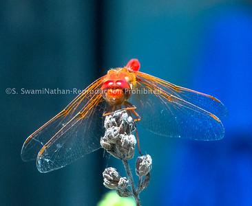 Meditating Dragonfly