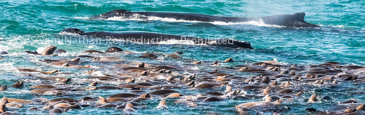 Humpbacks and Sea Lions