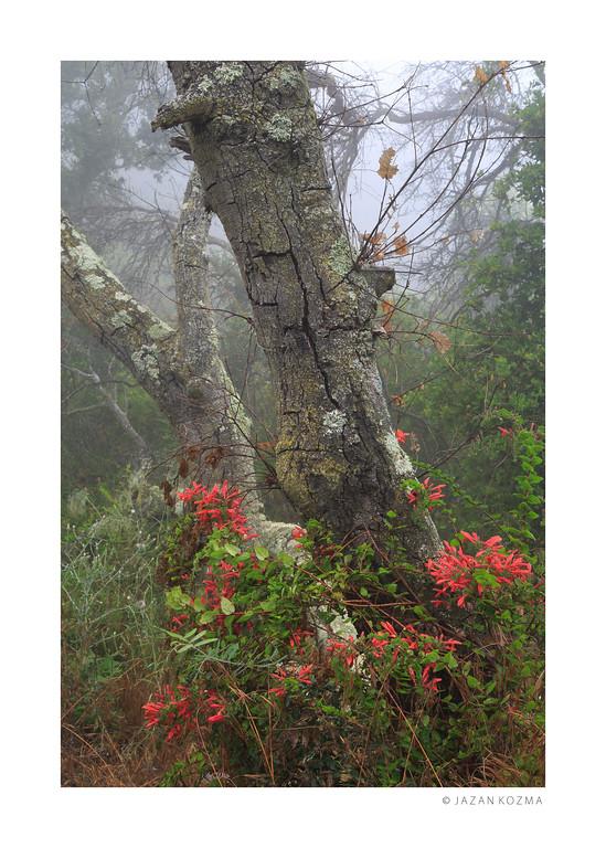 Scarlet Honeysuckle