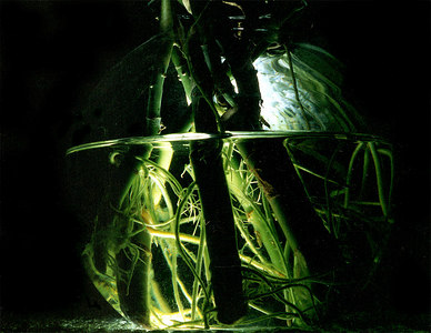 Plants immersed in water illuminated from underneath