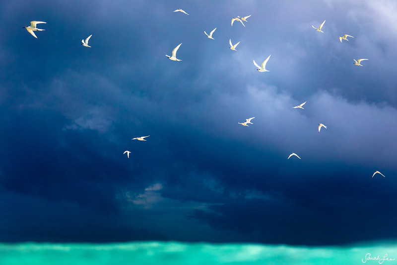 Stormy Birds (MALDIVES)
