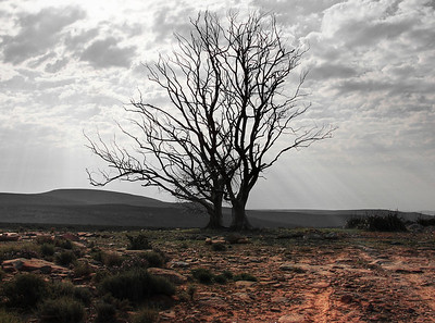 Sutherland tree