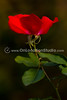 Red rose from Desconso Gardens, CA