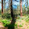 Poderosa  Pine Forest