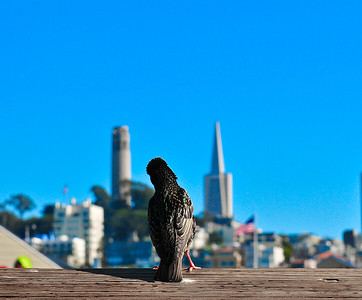 Which tower is bigger?  It seems this bird can't decide....  San Francisco does lean a little left.   Aspect Photography, www.aspect-photo.com, 301-659-3113 www.aspect-photo.com