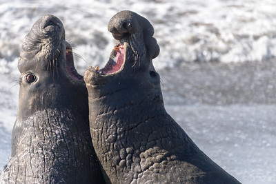 Elephant Seals, Piedras Blancas, California