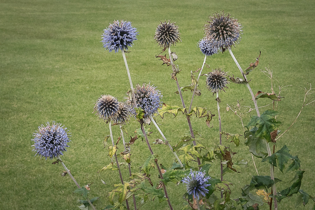 Thistle at Inverary Castle
