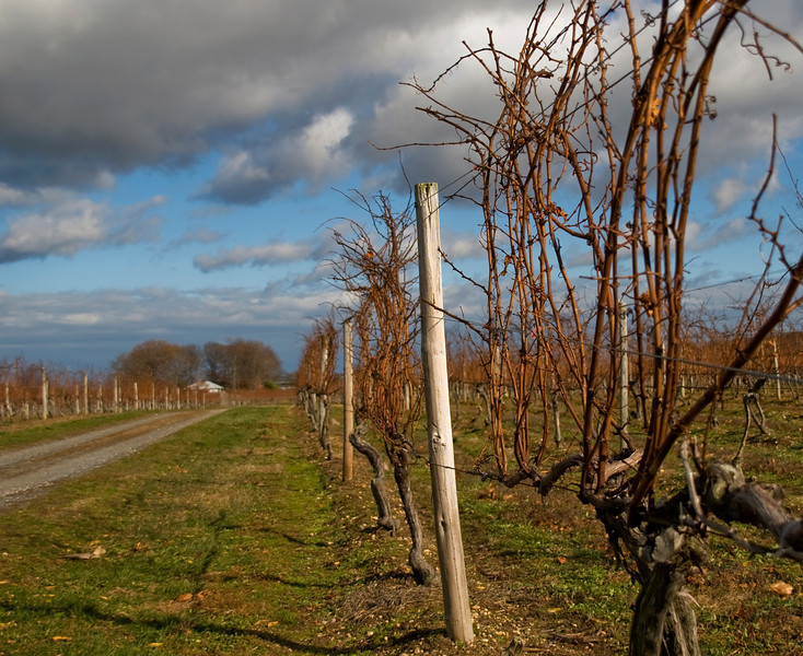 Winter Vineyard 1