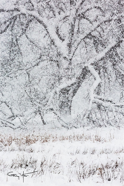 Elm in Blizzard, Cook's Meadow, Yosemite