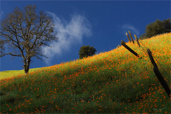 Poppy Hillside, Sierra Foothills, California