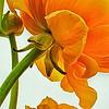 Ranunculus_Yellow0143