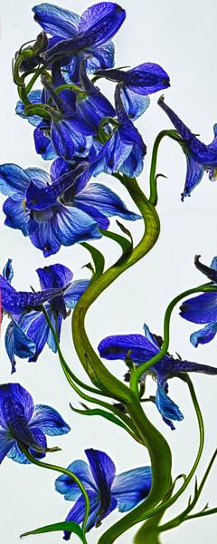 DaffodilVine_0335