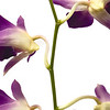 Orchid_0353