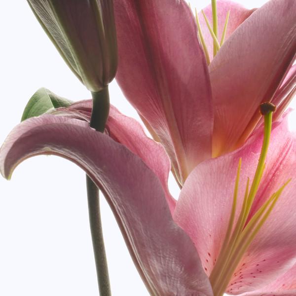 Tulip_0248