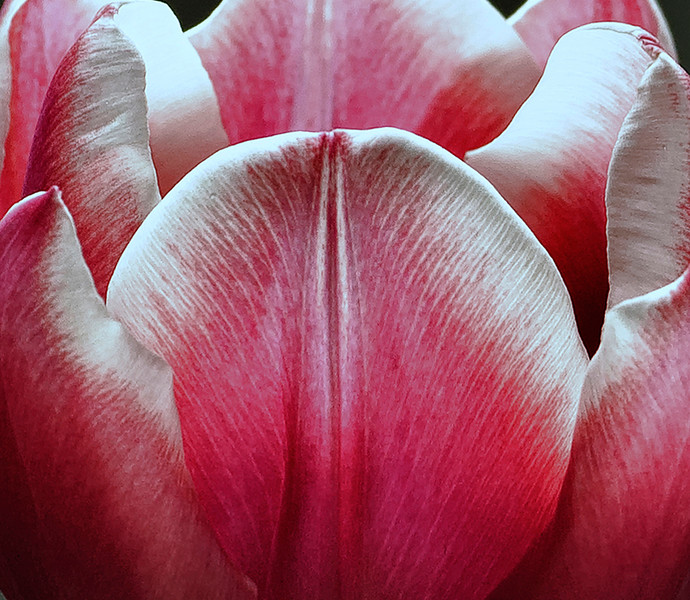 Pink Lily2sm
