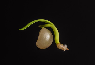 Germinating Belladonna Seed